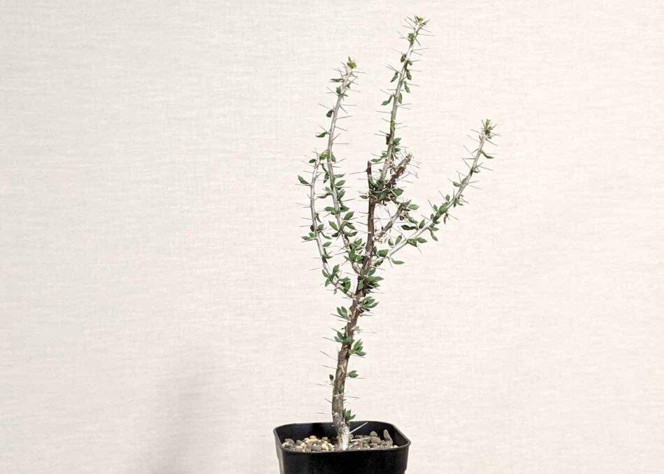 2021年2月25日に撮影したユーフォルビア・ギューメ花キリン(Euphorbia guillemetii)の植え替え後