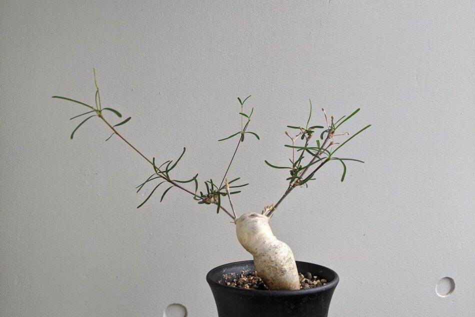 ユーフォルビア・ヘディオトイデス(Euphorbia hedyotoides)、塊根部分から細い枝を伸ばす