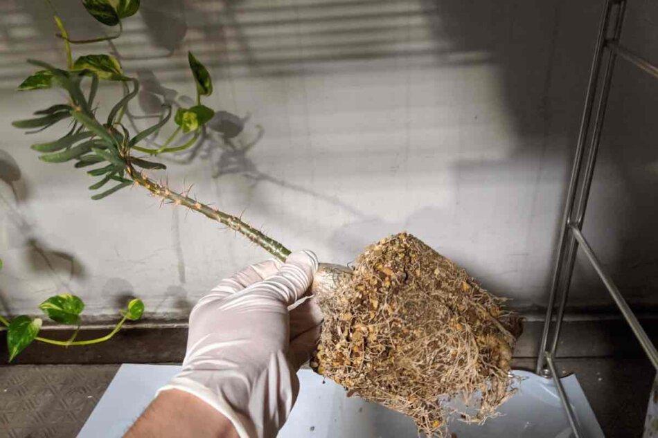 2020年9月22日に撮影したパキポディウム・サキュレンタム(Pachypodium succulentum)、植え替え。