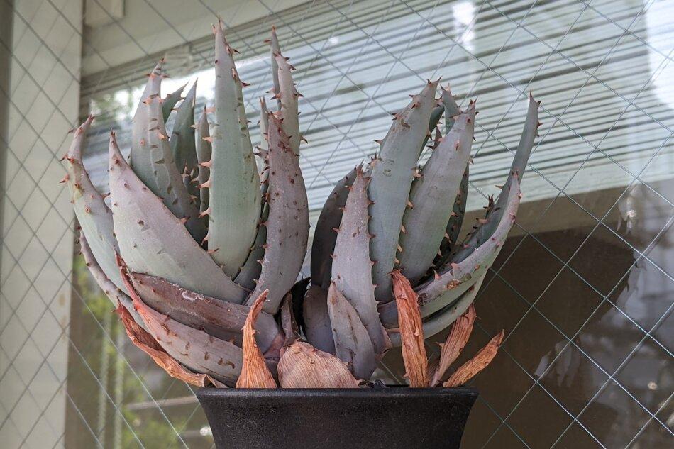 2020/12/30に撮影したアロエ・ペグレラエ(Aloe peglerae)