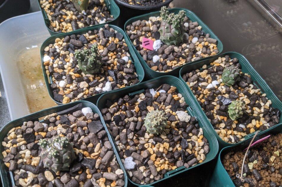 2021年5月20日に撮影した実生のユーフォルビア・ガムケンシス(Euphorbia gamkensis)