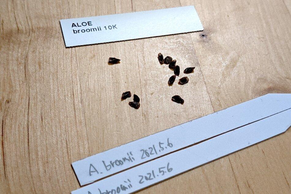 アロエ・ブルーミー(Aloe broomii)の種