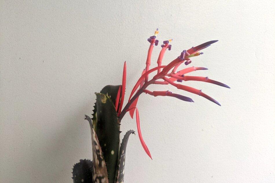 2021年6月17日に撮影したBillbergia vittata 'Domingos Martins'(ビルベルギア・ドミンゴス マルチンス)の開花画像