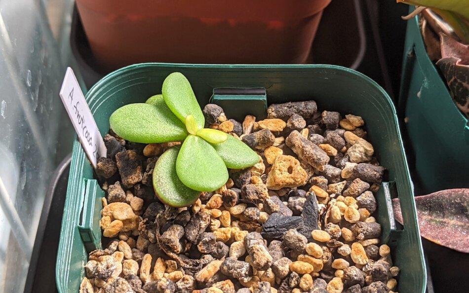 2021年7月31日に撮影したケラリア・ピグマエア(Ceraria pygmaea)の実生苗