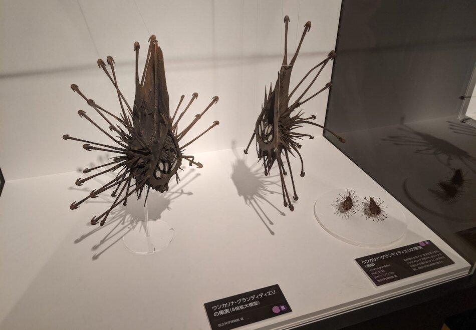 ウンカリナ・グランディディエリの種と3Dプリントモデル