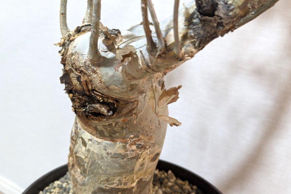 ブルセラ・ファガロイデス(Bursera fagaroides)の幹の部分