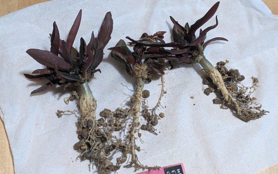 2021年9月4日に撮影したユーフォルビア・フランコイシー(Euphorbia francoisii)の実生株