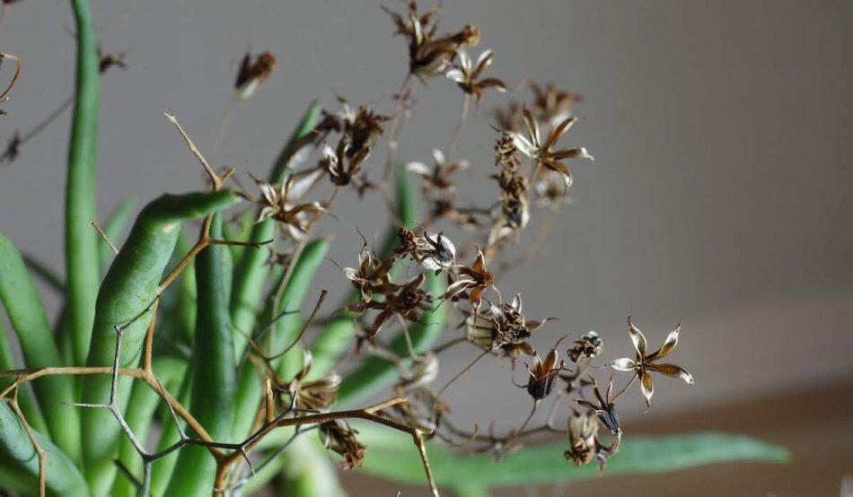 チレコドン・万物想(Tylecodon reticulatus)の花柄